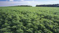 Vantaggi di ottenere un massaggio fatto con la cannabis